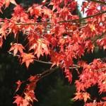紅葉 (1)